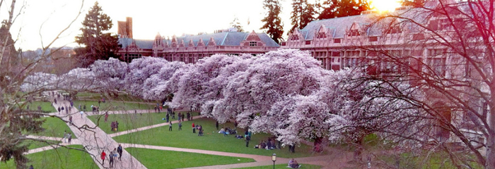 Cherry trees blossom on the University of Washington campus