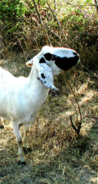 Vegetation Management Project with goats